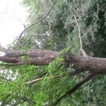 Aug2011TreeRemovals 006