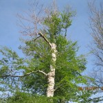 MayTreeRemovals2011 023